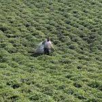 قیمت انواع چای خارجی