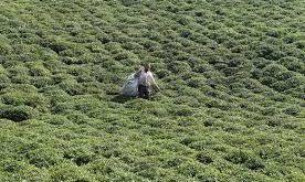 چای خارجی زمرد
