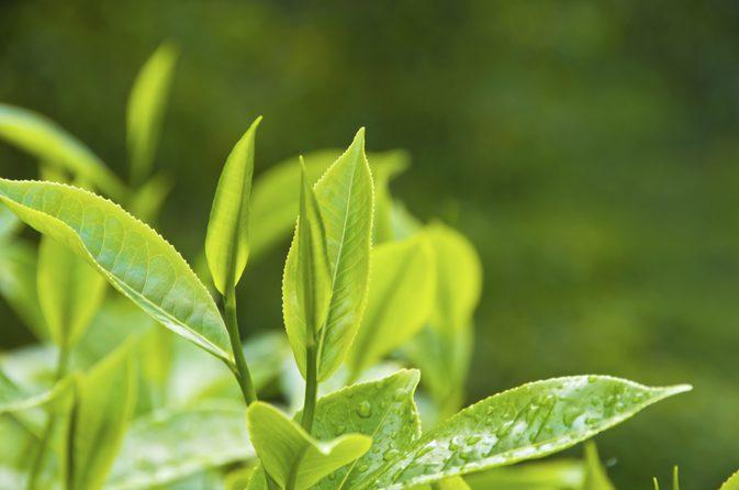 غنچه نشکفته گیاه چای